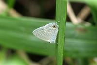 ウスアオオナガウラナミシジミ石垣島⑥ - 蝶のいる風景blog