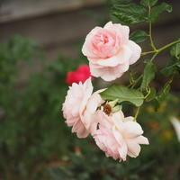 11月のバラ - sola og planta ハーバリストの作業小屋