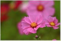 フォト雑記晩秋の秋桜 - ハチミツの海を渡る風の音