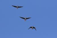 マガン青空を - 気まぐれ野鳥写真