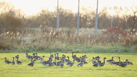 ヒシクイ - 北の野鳥たち