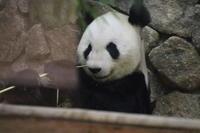 ご機嫌な様子で竹を食べる永明♂さん - 山とPANDA