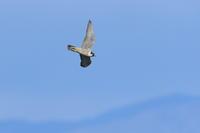 ハヤブサ予報は風速6Mの風 - 気まぐれ野鳥写真