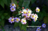 ハマベノギク [浜辺野菊] - 花と風の薫り