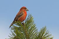 今年はイスカの当り年なのでしょうか。 - 季節の野鳥~Wildbirds archives