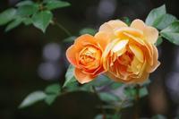 ちょっと寂しい薔薇園へ~井頭公園 - 季節の風を追いかけて