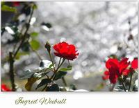 里見公園のバラⅡ - 花ありて 日々
