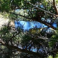 鷽入る情報で訪ねてみた公園に居たキクイタダキSGO - 野鳥観察記録