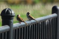 N川のカワセミ、快晴の日曜。 - 小川の野鳥達