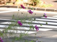 横断歩道を渡るコスモス - monn-sann