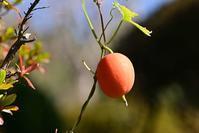 カラスウリの果実 - 野の花山の花ウォッチング in 奥多摩