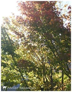 お庭の紅葉も始まっています。 - タティングレース便り  ~アトリエ さかみち~