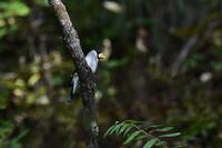 イカルアカハラニャンコ - 新 鳥さんと遊ぼう