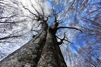 みちのくブナ林冬支度 - みちのくの大自然