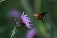 ホシホウジャク:ハチドリのよう・・・ - 赤いガーベラつれづれの記