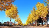 黄金の公孫樹並木は今が見頃。だった♪・・・太田市運動公園にて - 『私のデジタル写真眼』