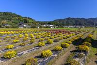 仮宿のざる菊園 ① - やきつべふぉと
