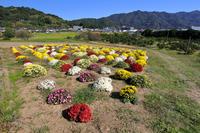 仮宿のざる菊園 ② - やきつべふぉと