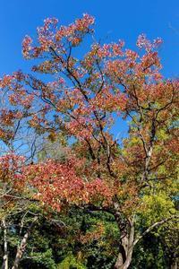 ナンキンハゼの紅葉 - あだっちゃんの花鳥風月