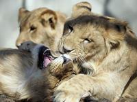 子ライオンの旅立ち - 動物園放浪記