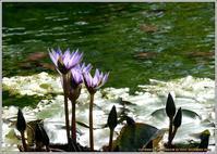 睡蓮とコスモス - 野鳥の素顔 <野鳥と日々の出来事>