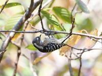 秋の手賀の丘公園にいたコゲラ - コーヒー党の野鳥と自然パート3