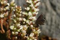 クロツバメシジミ  ツメレンゲの花園で - 蝶のいる風景blog