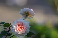 港の見える丘公園秋薔薇第2章 2 - 生きる。撮る。