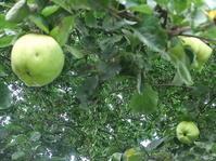ブレキジットによる人手不足でリンゴが収穫できない! - イギリスの食、イギリスの料理&菓子