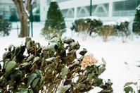 雪景色の枯れた紫陽花と最後の開花状態 - 照片画廊