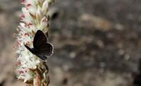 立冬 金盞香 - 紀州里山の蝶たち