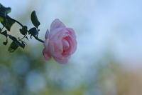 港の見える丘公園秋薔薇第2章 3 - 生きる。撮る。