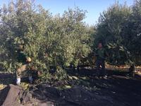 南イタリアユキキーナツアー7日目①オリーブ農園で収穫体験♪ - ユキキーナの日記