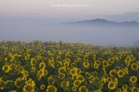 霧朝のひまわり畑 - ekkoの --- four seasons --- 北海道