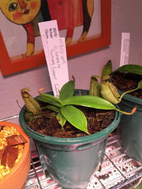 Nepenthes hamata - My funny carnivorous plants