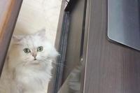 テレビ好きな猫ちゃん。 - メグ通信12