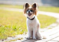 パピヨン! - いとしい犬たちのフォトブログ