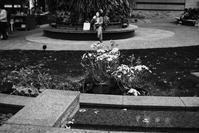 ツワブキのある園 - summicron