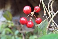 サルトリイバラ猿捕茨 - 里山の四季