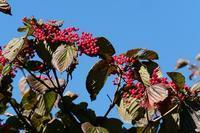 ■木の実19.11.20(ガマズミ、ムラサキシキブ、コムラサキ) - 舞岡公園の自然2