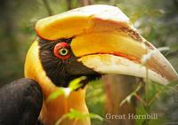オオサイチョウ:Great Hornbill - 動物園の住人たち写真展(はなけもの写眞館)