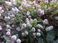 姫蔓蕎麦 - だんご虫の花