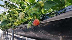 いちごの成長その③収穫間近 -
