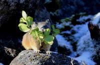初冬のガレ場に生きる・・ナキウサギとタヌキ - アイヌモシリの野生たち  獣と野鳥の写真図鑑