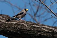 2019年の決算(イカル) - 野鳥などの撮影記録