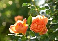 人気者の薔薇 - カヲリノニワ