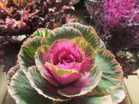 艶やかな葉牡丹 - あるまじろの庭