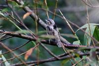 アリスイ&オオバン幼鳥 - 四季の予感