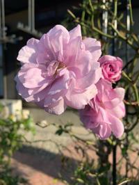 終わりに近づいてきた薔薇とハートのリーフ。 - 春&ナナと庭の薔薇