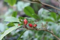 ミラクルフルーツの実 - 神戸布引ハーブ園 ハーブガイド ハーブ花ごよみ